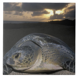 Green Turtle, (Chelonia mydas) nesting female on Tile