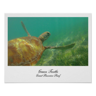 Green Turtle Swimming on the Great barrier reef Posters
