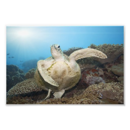 Green turtle underwater art photo