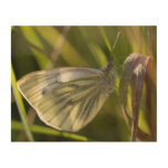 Green-veined White Butterfly Wood Print