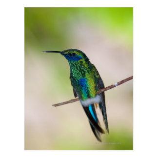 Green Violet-ear Hummingbird Postcard