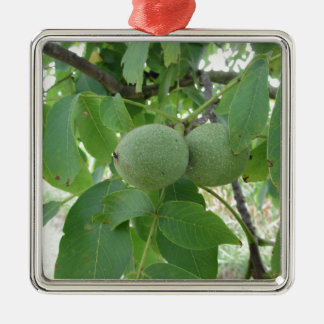 Green walnuts hanging on the tree . Tuscany, Italy Metal Ornament