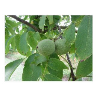Green walnuts hanging on the tree . Tuscany, Italy Postcard