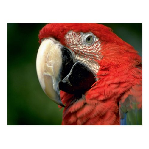 Green-winged Macaw Post Cards