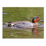 Green-winged Teal Male Postcard
