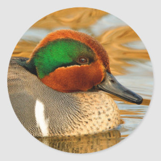 Green-Winged Teal on Golden Pond Classic Round Sticker
