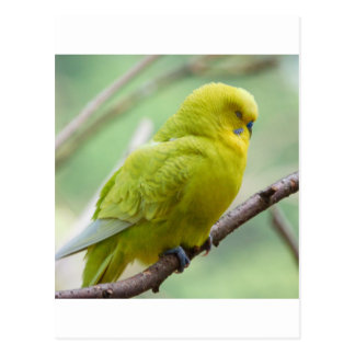 Green Yellow Budgie Post Cards