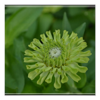 Green Zinnia Posters