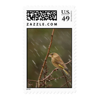 Greenfinch Postage Stamp
