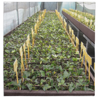Greenhouse cultivation of Camellia japonica flower Cloth Napkin