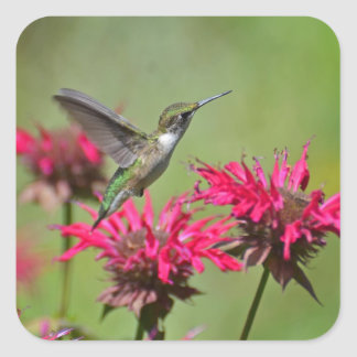 Greenish hummingbird hovering over red flowers. square sticker
