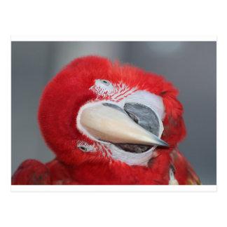 Greenwing macaw postcard