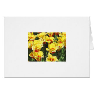 Greeting Card Picturing Yellow Dutch Tulips