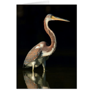 Greeting Card - Tricolored heron evening