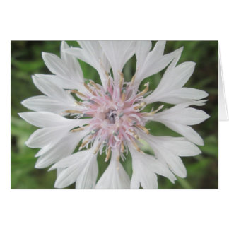 Greeting Card - White/Pink Bachelor's Button