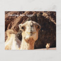 Greetings from an Egyptian Camel Postcard