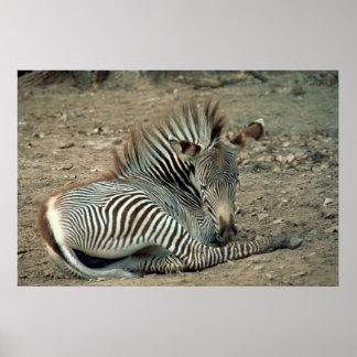 Grevy s Zebra Poster
