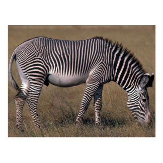 Grevy's Zebra Postcard