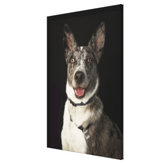 Grey and white Australian Shepherd with harness Gallery Wrapped Canvas