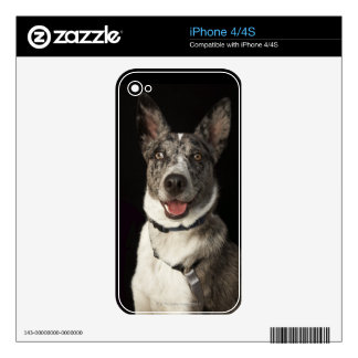 Grey and white Australian Shepherd with harness iPhone 4S Skin