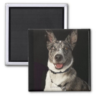 Grey and white Australian Shepherd with harness Magnet