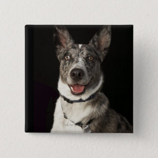 Grey and white Australian Shepherd with harness Pinback Button