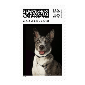 Grey and white Australian Shepherd with harness Postage