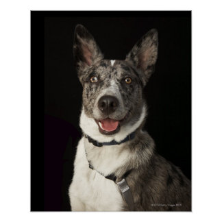Grey and white Australian Shepherd with harness Posters
