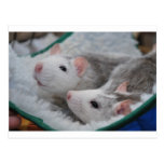 Grey and white pet rats vykort
