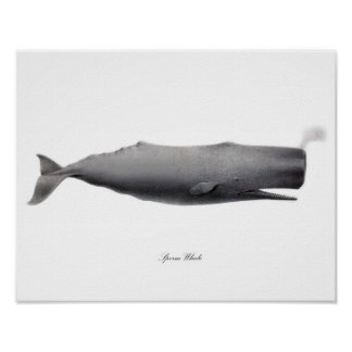 Grey Black and white art print Sperm Whale #12