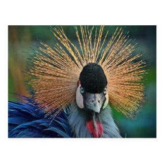 Grey Crowned Crane bird portrait Postcard