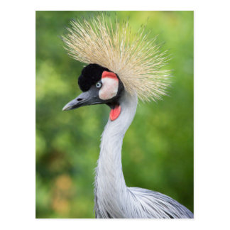 Grey crowned crane head and neck postcard