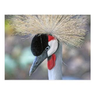 Grey Crowned Crane Postcard