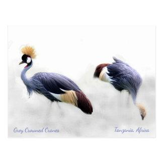 Grey Crowned Cranes Postcard