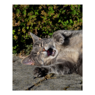 grey domestic cat lying with open muzzle, poster