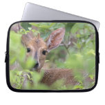 Grey Duiker (Sylvicapra grimmia) hiding in Laptop Sleeves