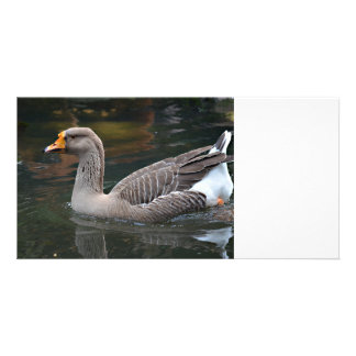 grey goose swimming across bird picture photo card