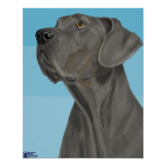 Grey Great Dane Looking Up on Blue Background Poster
