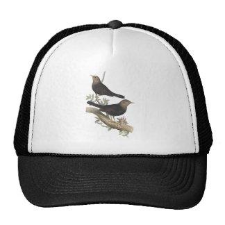Grey-headed Blackbird Hats