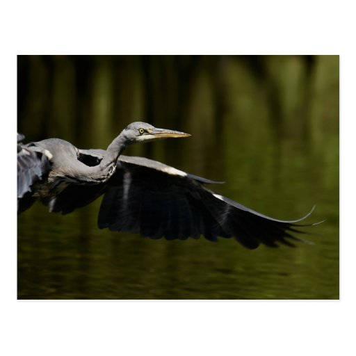 Grey Heron Postcard