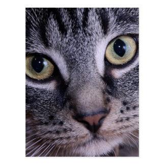 Grey Kitten Face Postcard