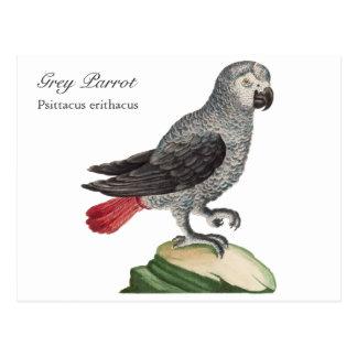 Grey Parrot - Psittacus erithacus Postcard