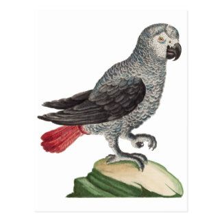 Grey Parrot - Psittacus erithacus Post Cards