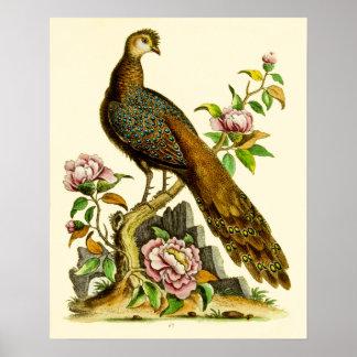 Grey Peacock Pheasant Vintage Poster