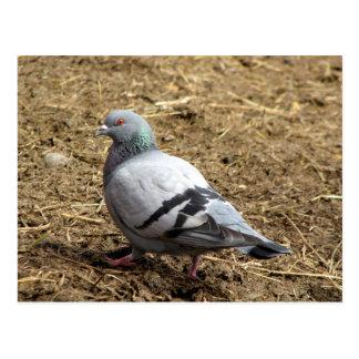 Grey Pigeon Postcard