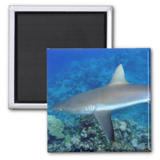 Grey Reef Shark 2 Inch Square Magnet