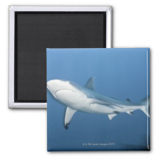 Grey reef shark (Carcharhinus amblyrhynchos) 2 Inch Square Magnet