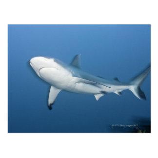 Grey reef shark (Carcharhinus amblyrhynchos) Postcard