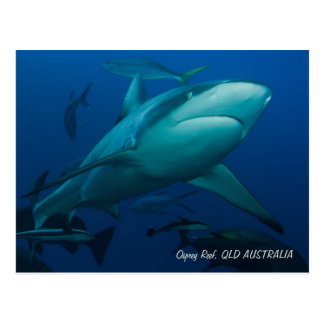 Grey Reef Shark on the Great Barrier Reef Postcard