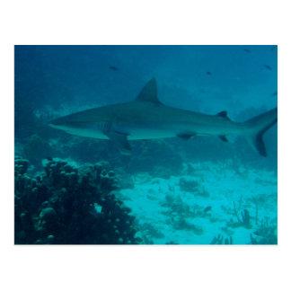Grey Reef Shark Swimming Postcard